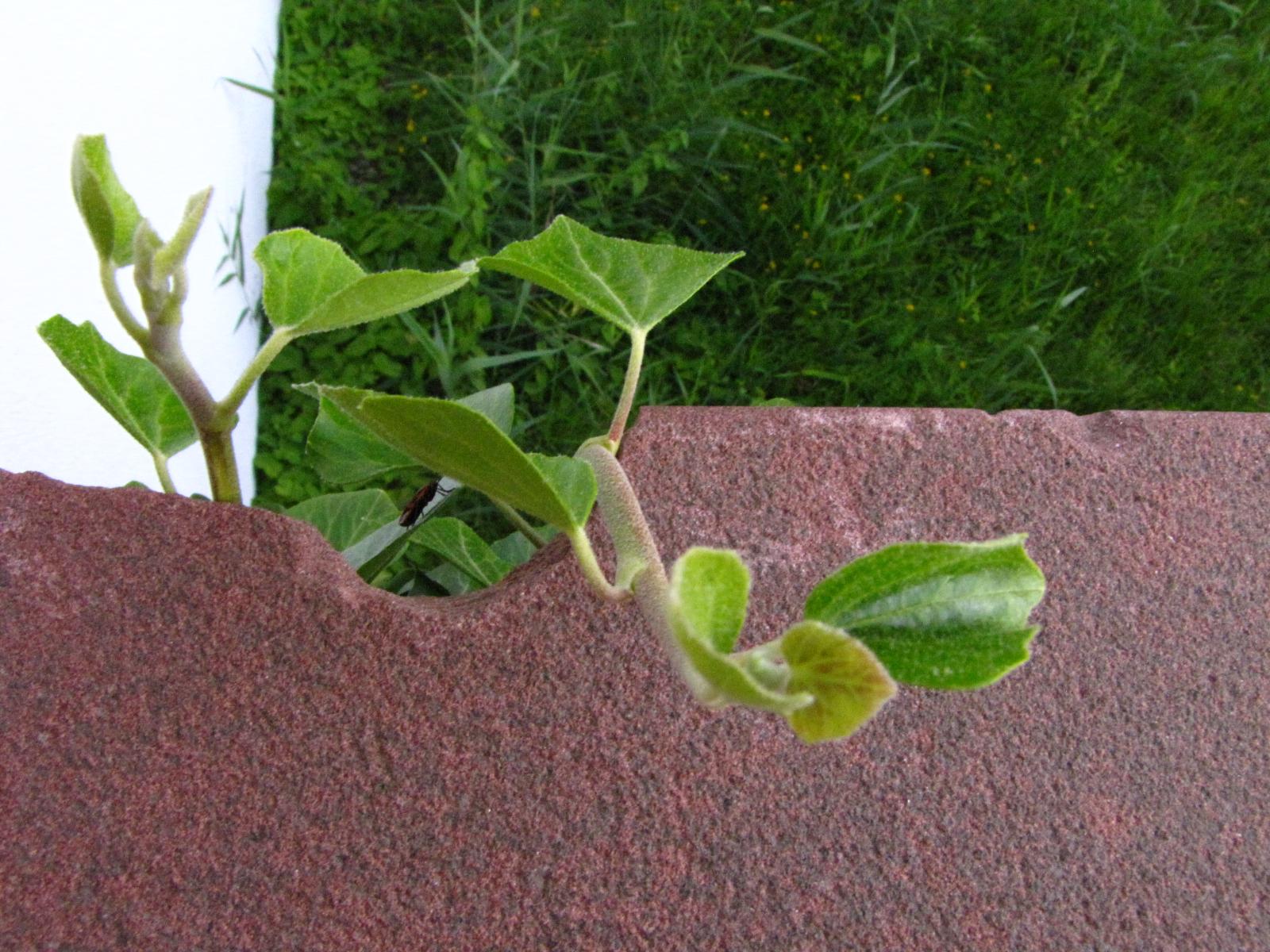 Ein Stück Mauer mit einer halbrunden Einkerbung, durch die grüner Efeu wächst